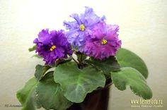 ЛЕ-Алихимия, сорт 2015г. детка Пример цветения временно на фото из Интернета http://www.gesneriada.ru/le-alkhimia.html
