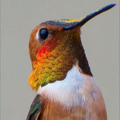 Tracy Johnson fotografias de colibries 3