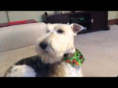 Wire Fox Terrier Hamish sings a song - YouTube