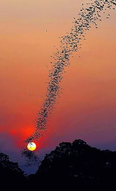 """  A massive bat colony in flight at sunset """