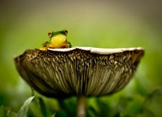 A cute frog named Cleopatra captured in detail with a Canon EOS 600D by InfinitePhotography.  |  Won Contest Finalist in Fungi photo contest.