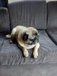 My baby the one that makes me smile I Smile, Make Me Smile, Cute Pugs, Dogs, Baby, Animals, Animales, Animaux, Pet Dogs