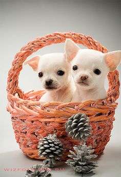 Baby chihuahuas so cute <3