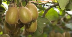 Kiwis Hayward, Kiwifruits Seeds- Delicious Healthy Fruits in Your Gardens Fast Growing Trees, Growing Grapes, Fruit Trees For Sale, Banana Seeds, Grapevine Growing, Kiwi Juice, Color Verde Claro, Evergreen Vines, Bonsai Seeds