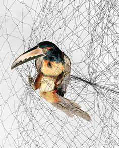 "Todd Forsgren photographs birds caught between the wild and captivity. These birds are tangled up in ""mist nets"" – giant webs made from thin, nylon mesh suspended between poles, designed to capture the birds so ornithologists can study them up close. They are carefully extracted and, once the data is collected, released unharmed, usually moments later. If it still seems a little inhumane, consider this: Victorian artists who wanted to study birds up close, used shotguns."