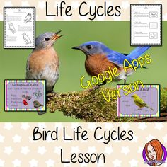 Distance Learning Bird Life Cycles Google Slides, Science Lesson This download is a complete lesson on Bird life cycles. This is the Google Slides version of this lesson!