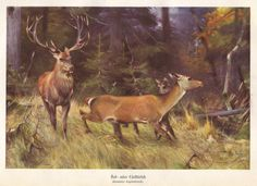 Red deer original 1922 zoology print  Cervus by PaperThesaurus