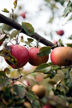 Apple, hazelnut and oat cake // Cannelle et Vanille. I don't know if I'll make this, but I like the pics Apple Farm, Apple Orchard, Orchard Lane, Apple Tree, Red Apple, Apple Plant, Fruits And Veggies, Vegetables, Fruit Trees