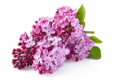 Syringa Vulgaris, Purple Lilac, Planting Flowers, Leaves, Plants, Plant, Lilacs, Lilac