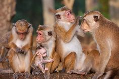 Spend more time with your troop! Bring home Monkey Kingdom Sept Monkey Kingdom, Disney Movies Anywhere, Earth, Nature, Animals, Animales, Naturaleza, Animaux, Animal