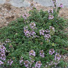 Timjan 'Dooney Valley' Garden, Outdoor Decor, Plants, Lawn And Garden, Gardens, Plant, Outdoor, Home Landscaping, Tuin
