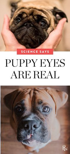 Puppy eyes really can manipulate you, according to science. Learn more here. #puppy #puppyeyes #dogs #puppies