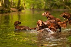 Irish Setter Family:)
