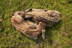 Two small deer taking a nap in the Oostvaardersplassen (Holland)