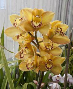 https://flic.kr/p/bwzTWY | Cymbidium Orchid Comanche Goldie