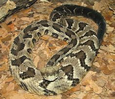 Timber Rattler and other poisonous snakes found in the NC mountains.