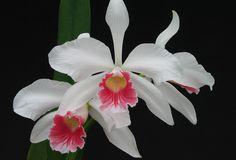 orquídeas-lindas-nomes-fotos                                                                                                                                                                                 Mais
