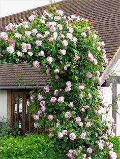 80 best climbing flowers images on pinterest in 2018 garden plants 40 best and beautiful climbing flowers for fences 28 top 10 beautiful climbing plants for fences mightylinksfo