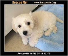 Rescue Me ID: 15-05-13-00375Lil Bit (male) Maltese Mix Age: Young Puppy Compatibility: Good w/ Most Dogs, Good w/ Most Cats, Good w/ Kids and Adults Personality: Average Energy, Average Temperament Health: Needs to be Neutered, Vaccinations Current Lil Bit is available for adoption. He's 3 months old. Maltipoo. Smart and affectionate. Recovering from flea dermatitis. Animal Location: Venice Rescue Los Angeles County Calabasas, CA MAP IT! Contact: 310-612-9483 Facebook: Email to Friend