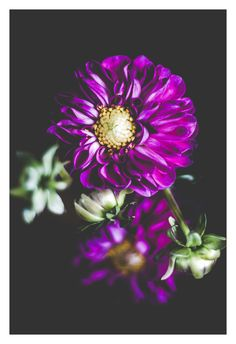 """Shop our original botanical photographs that make for unique wall art to compliment your home or office decor. They also make for a one-of-a-kind gift. You can find """"Dahlia"""" (along with many other flowers) in our Etsy Shop currently offered in the following sizes: 5x7, 8x10, and 11x14."""