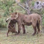 A Lioness Killed A Baboon, But What She Did Next With The Baby Is So Shocking