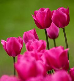 Tulips - Stunning Color !