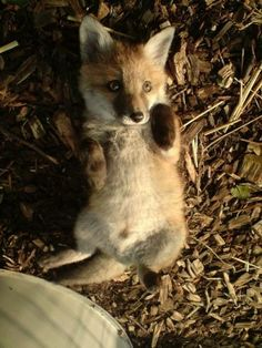 Awwww.... Baby Fox