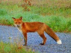 Fall in Finland. Fox in Ruissalo suburbia, Turku.