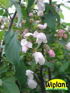 Malus 'Kramer 2', Prydnadsäppel. Röda blomknoppar.  Vita stora (5 cm) blommor.   Små gulaktiga frukter (1,5-2 cm).