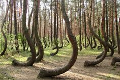The Crooked Forest, Gryfino, Poland