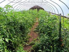 Combaterea daunatorilor la legumele cultivate in sere si solarii