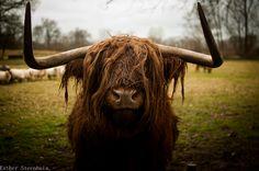 #nikon #cow #bull #camera #dutch #horns #photography #d5000 #animal #fluffy