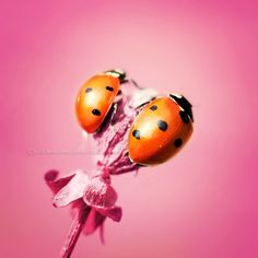 2 ladybugs at the top of a pink flower