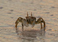 Horned Ghost Crab by (Sam)oht Ekpil on 500px