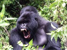 Just one of the amazing pictures I snapped while gorilla trekking in Rwanda a couple weeks ago Elkhorn Coral, Big Gorilla, Rhino Species, Elephant Shrew, Philippine Eagle, Gorilla Trekking, Mountain Gorilla, Wildlife Safari, San Diego Zoo