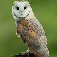 Common Barn Owl Image 2