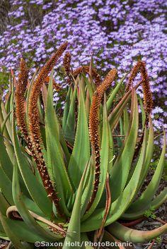 Aloe castanae Cat's Tail Aloe succulent in South African section of University of California Berkeley Botanical Garden Flowering Succulents, Cacti And Succulents, Planting Succulents, Succulent Ideas, Agaves, Cactus, African Plants, Desert Plants, Garden Borders