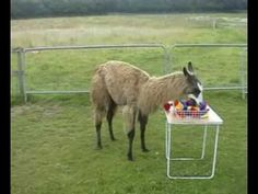 Oscar has been trained to pick out only the yellow toys and transfer them to the blue box. Colour apart, all the toys are the same. Alpacas, Blue Box, The Selection, Training, Yellow, Toys, Animals, Activity Toys, Animaux