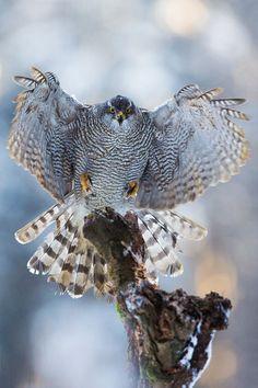 faustinepau: via / Landing by Pavel Blažek Love Birds, Beautiful Birds, Animals Beautiful, Northern Goshawk, Birds Of Prey, Animals Of The World, Wild Birds, Bird Watching, Bird Feathers