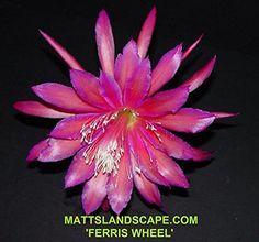 Epiphyllum, Hybrid, Cuttings, FERRIS WHEEL, Orchid Cactus, Jungle Cactus