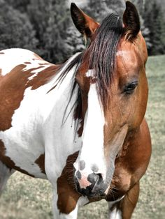Paint Horse, I grew up on the back of my beloved Paint named Fever. This guy looks just like him. I will always love horses, always.