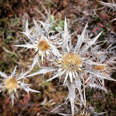 """#Sardegna #Sardinien #nature #Flowers #trekking #Valliciosa"" Trekking, Dandelion, Nature, Instagram Posts, Flowers, Plants, Sardinia, Naturaleza, Dandelions"