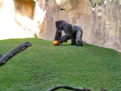 Ernst, Western Lowland Gorilla at the Bioparc Fuengirola, Malaga. (Source Facebook of Bioparc Fuengirola)