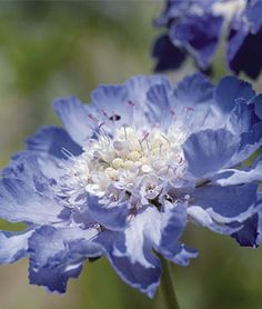 Scabiosa, Fama Deep Blue
