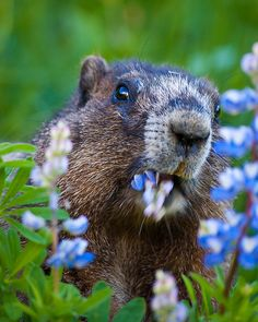 **Lupine Lunch ~ marmot, Mount Rainier National Park, WA Marmots are large ground squirrels