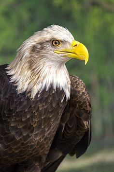 Get My Good Side - Bald Eagle