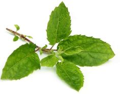 The health benefits of holy basil or tulsi include oral care, relief from respiratory disorders, fever, asthma, lung disorders, heart diseases and stress.