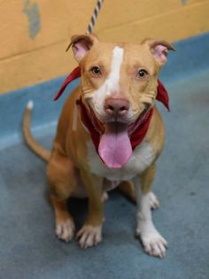 GONE 01/09/15 --- TO BE DESTROYED - 01/09/15 Brooklyn Center   My name is MAJOR. My Animal ID # is A1024391. I am a male tan and white am pit bull ter mix. The shelter thinks I am about 2 YEARS   *** $150 Donation To The New Hope Rescue Who Pulls Major ****  I came in the shelter as a STRAY on 12/31/2014 , owner surrender reason stated was STRAY.  https://www.facebook.com/photo.php?fbid=940999612579585