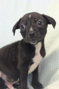 Meet Draco, a Petfinder adoptable Pit Bull Terrier Dog | Longview, TX | Petfinder.com is the world's largest database of adoptable pets and pet care information....