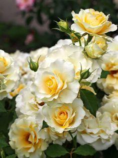 seasonalwonderment:  Rose Garden